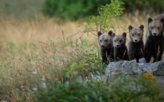 Baby Marsican Brown Bears © LUIGI FILICE