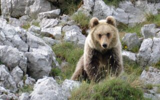 Marsican Brown Bear © MASSIMO RE CALEGARI