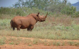 Black Rhino © ZSL/KWS