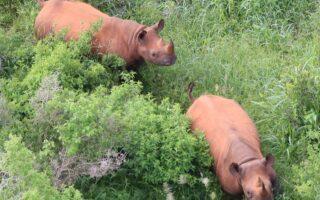 Black Rhinos © ZSL/KWS