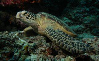 Green turtle © N. Pilcher/MRF
